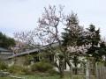 長寿の森  桜が開花