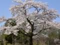 長寿の森 桜が満開になりました! 4月25日