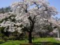 長寿の森 観桜会 4月25日